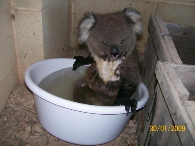 hot_koala